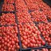 橋本農園のフルーツトマト栽培(農業と触れ合う日々)
