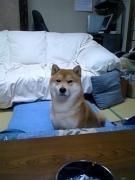 柴犬キンタの大冒険