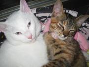 肉球ペッタン!白猫とトラ猫の奮闘日記 byママ