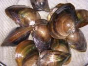 琵琶湖漁師直送!タナゴ・鯉に最適な二枚貝、巻貝専門店。