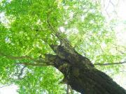 大きなブナの木の下で