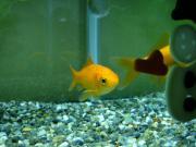 金魚とオカヤドカリ