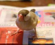 福岡で暮らすシナモン文鳥さん