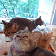 東京渋谷の猫カフェ ハピ猫