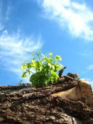 無垢フローリング 木の香 konoka