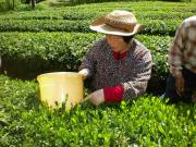 亀茶農園日記