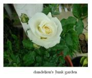 小さな庭のdandelion