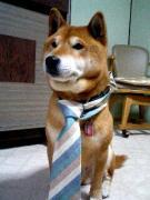 柴犬コロノスケのブログ