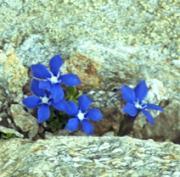 アルプス讃花