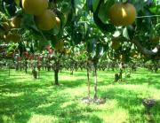果樹園ブギウギ