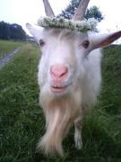 小さな馬飼い、山羊飼いになった、ふんどし男