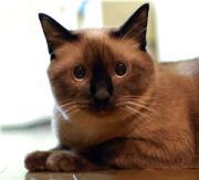 丸顔 シャム猫 ちょこ さすけの爆笑日記