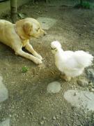 庭には二羽のにわとりとラブ