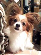 パピヨン☆キリの番犬日記