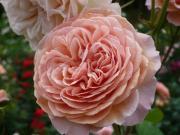 MK*Roses