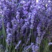 lavender's sigh