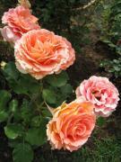 花参道通信 ウィリアム・モリスと薔薇のある生活
