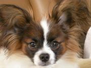 パピヨン「そら豆」の看板犬日記