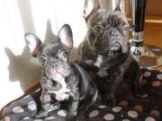 French Bulldog  SAKON & RION