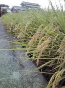 徳島でへの字稲作 コシヒカリ