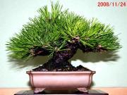 「鶴見陶苑」の盆栽日記