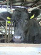 因幡の黒毛和牛〜