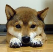 柴犬めろんの日記