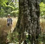 天城のブナは日本一・森の達人たちの伊豆情報
