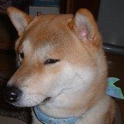 柴犬愛好家な京都の行政書士-事務所代表のひとり言