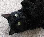 讃岐猫「わや」