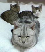 老猫アメショと2にゃんず