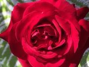 薔薇さんのプロフィール