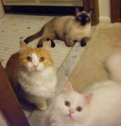 短足猫たちの平和な一日