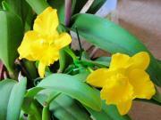 植え込み材料なしの洋蘭栽培
