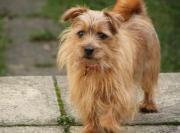 愛犬ノーフォークテリア アルフ の成長日記