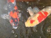 錦鯉の飼育 in豊岡