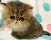 Cattery KOHLRABI 〜チンチラ猫〜