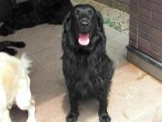 フラットコーテッド専門犬舎ビッキーガーデンのブログ