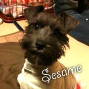 箱入娘Sesame