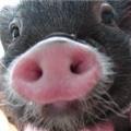 こまんたれぶ〜♪ミニブタの飼い方 ミニ豚ピンキー