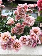 ピーチヒルの薔薇日記