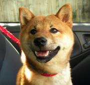 柴犬マメのメルボルンライフ