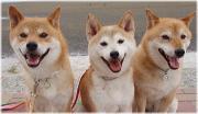 柴犬きなこ・やよい・龍市のパパログ
