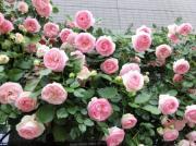 ----プチ薔薇日記-----