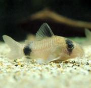 熱帯魚飼育 アクアルーム