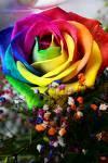 RainbowRose プロジェクト
