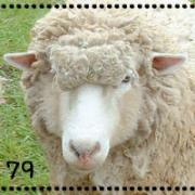 79 SHEEP +