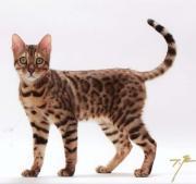 ベンガル猫 ※子猫の成長日記※