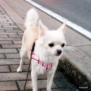 愛犬・散歩日記 チャッピーの日々