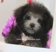 幼隆トイプードル Teacup Poodle子犬販売